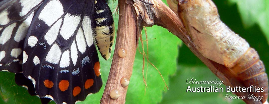 Freshly emerged dainty swallowtail with pupa