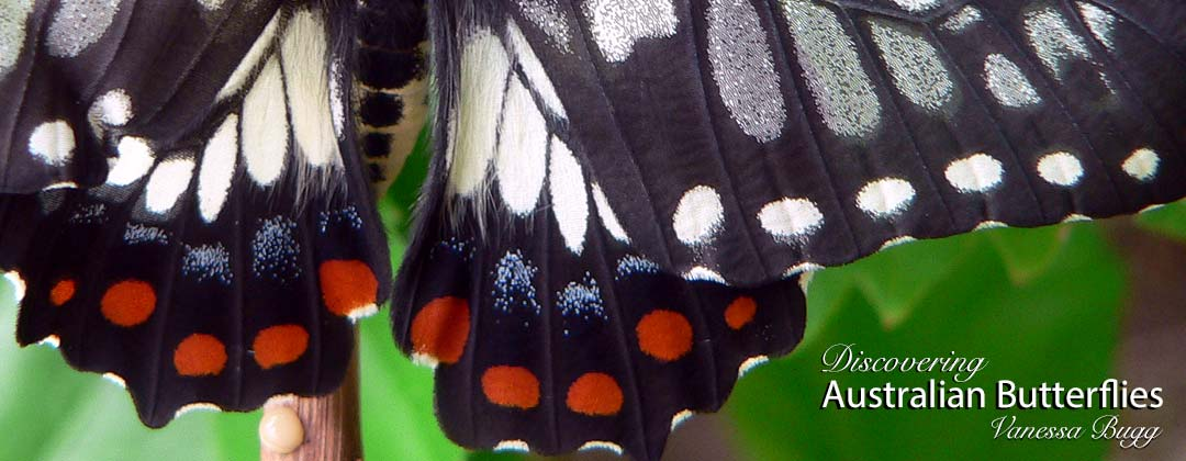 Vibrant colours of dainty swallowtail