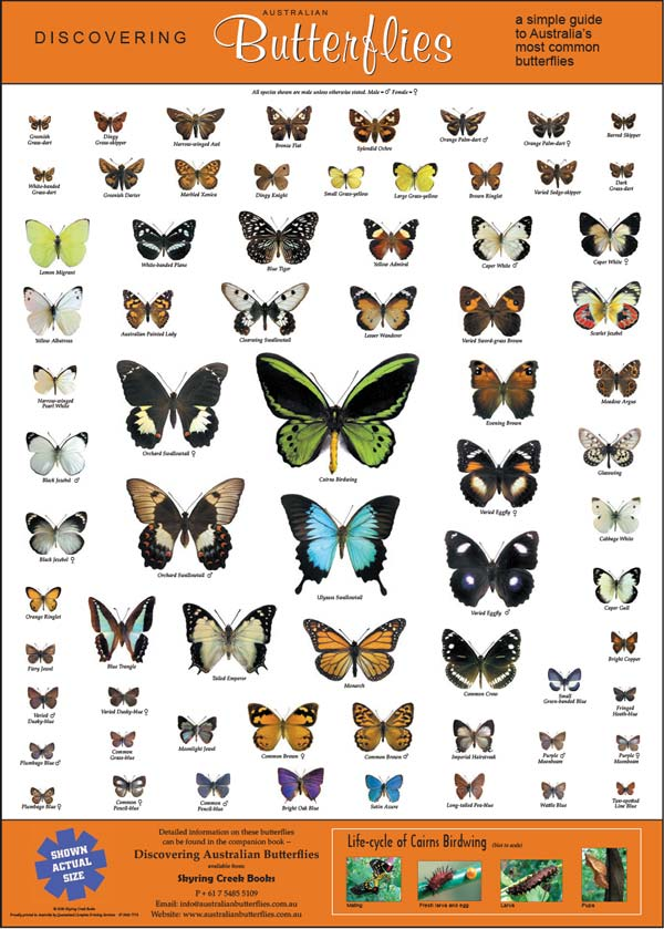 Poster showing 60 common butterflies at actual size