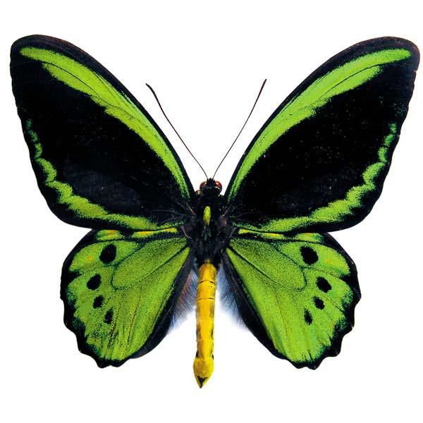 Australian Butterflies Logo