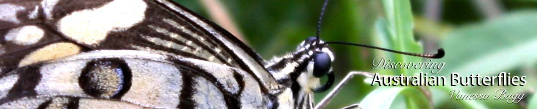 head of the Chequered Swallowtail