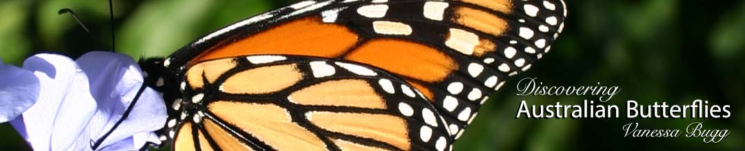 Monarch butterfly, up close and personal